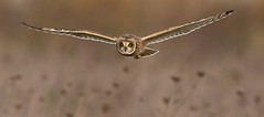 SE Owl Hunting_Dale Ayres.jpg
