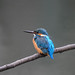 Kingfisher 1903171438.jpg