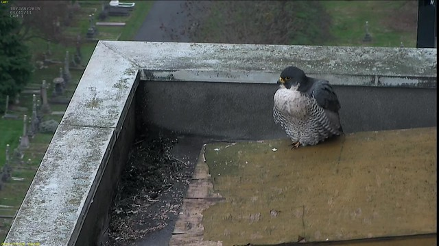 Charlie relaxing on top of the nest box with a full crop