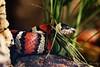 Korálovka Ruthvenova (Lampropeltis ruthveni)