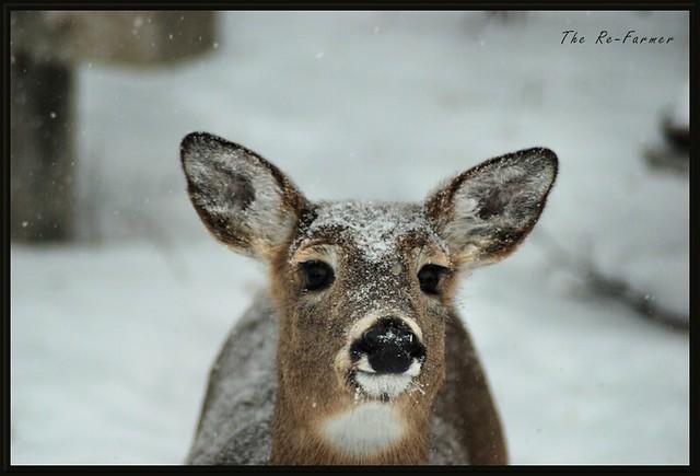 2019-01.white.tail.deer.2