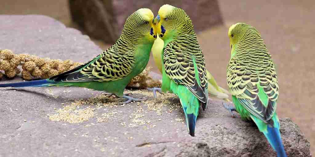 perruches-femelles-préfèrent-intelligence