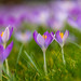 Crocus Tommasinianus in the garden