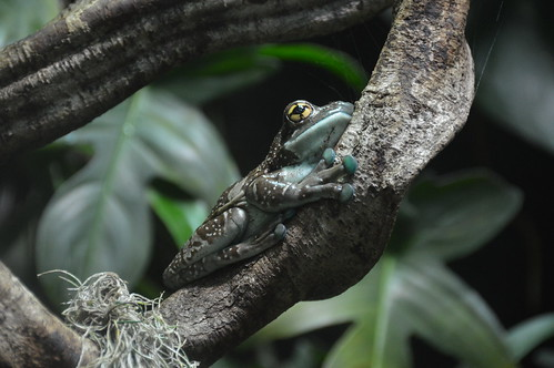 Mission Golden-eyed Tree Frog (Trachycephalus resinifictrix)