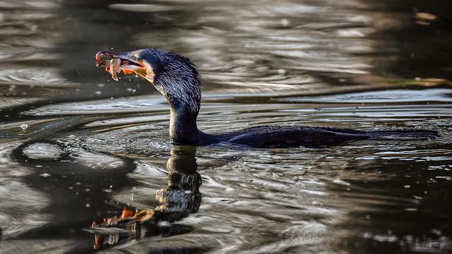 Cormorant fishing at sunset (1/2)