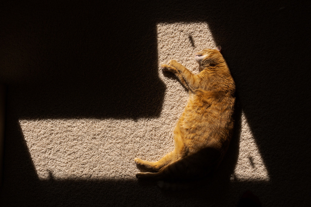 Our cat Sam sleeps within the sunlight falling on the carpet in our house on a warm March afternoon in Scottsdale, Arizona