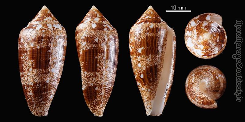Conus (Cylinder) aureus   Hwass in Brugière, 1792 33595966028_b937978a4d_c