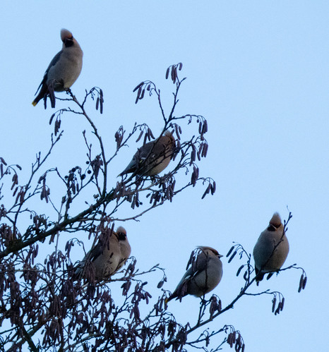 Are they coming? Waxwings