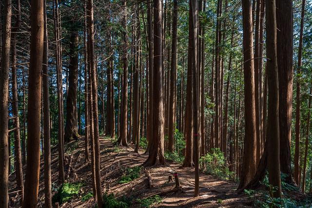 杉檜の明るい稜線