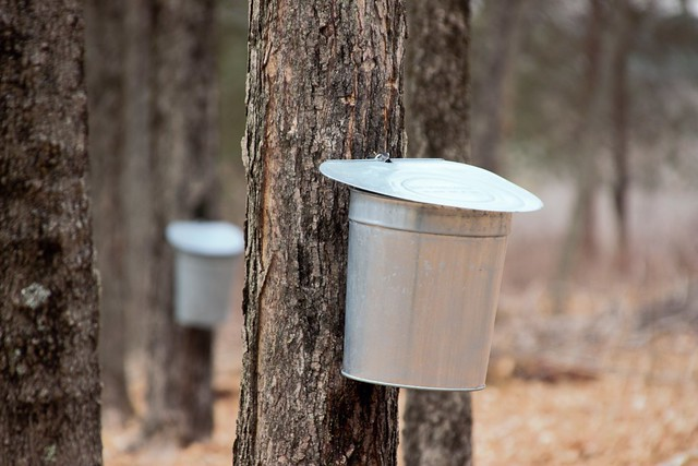 Buckets to tap maple sap