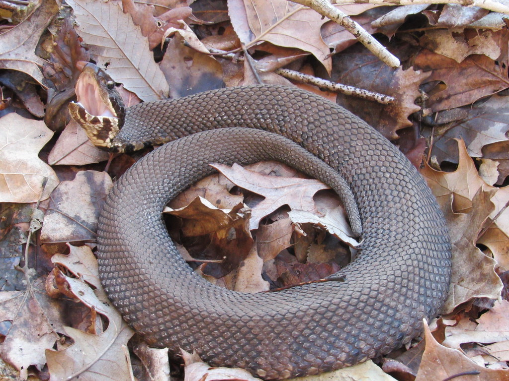 Cottonmouth 2