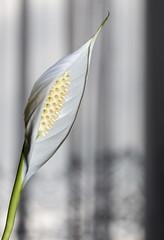 Peace lily twist