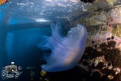 Jellyfish - Rhizostoma Luteum