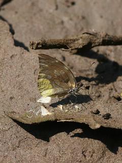 Lieinix nemesis (Pieridae: Dismorphiinae)