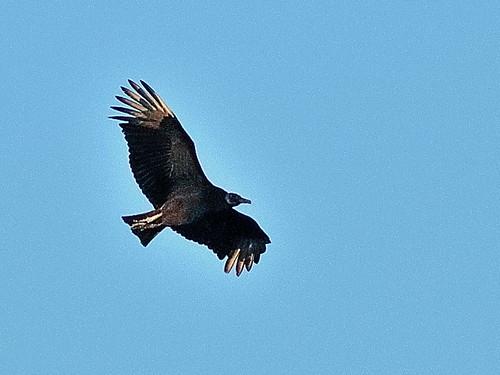 Black Vulture 20190110