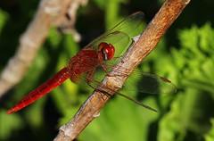 Kirby's Dropwing dragonfly - Trithemis kirbyi - Swakopmund Namibia (6)