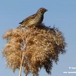 Aves en las lagunas de La Guardia (Toledo) 17-2-2019