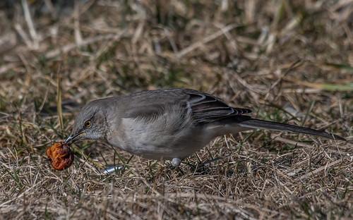 Northern Mockingbird w/crab apple