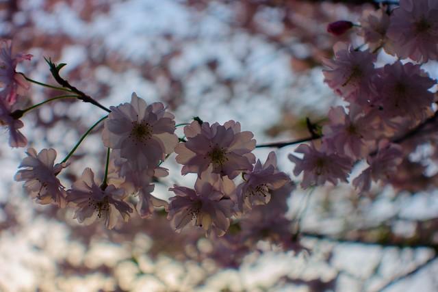 Photo:さくら 舞姫 By yuki_alm_misa
