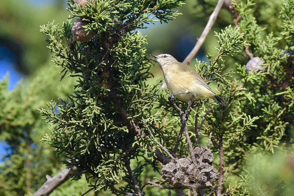 Yellow-rumped Thornbill ( feeding time )