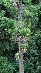 Vriesea gigantea