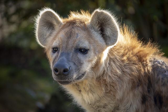 Hyänen (Hyaenidae)