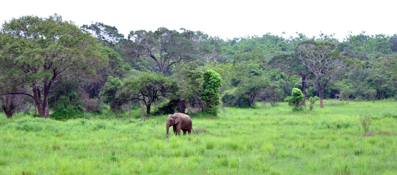 VER ELEFANTES SALVAJES EN SRI LANKA ver elefantes salvajes en sri lanka - 32032828947 debdd2d292 h - Ver elefantes salvajes en Sri Lanka