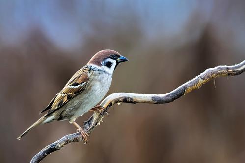 Feldsperling - Tree Sparrow - Passer montanus - 2
