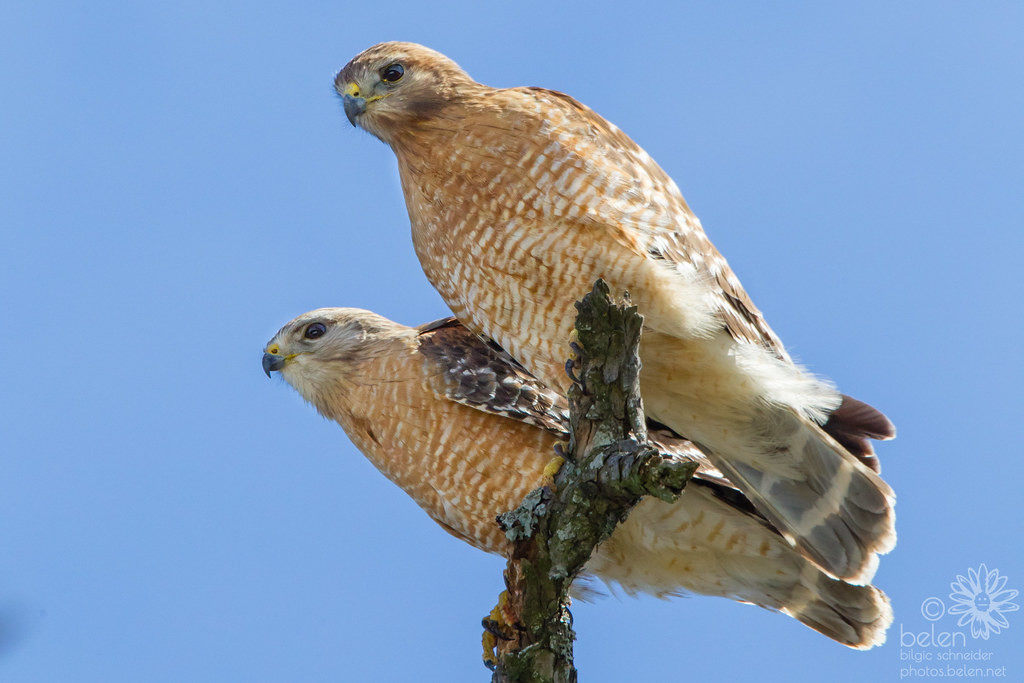 Red-Shouldered Hawk Pair - 2018