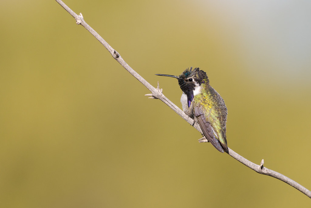 A male Costa's hummingbird perches on a branch along the Marcus Landslide Trail in McDowell Sonoran Preserve in Scottsdale, Arizona