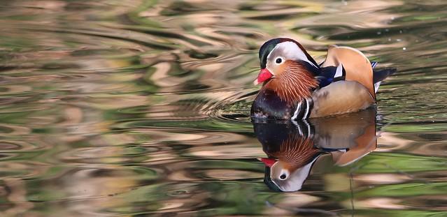 Pato-mandarin - (Aix galericulata) - Mandarin duck