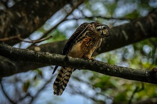 American Kestrel | by Chris_Pric