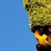 African Masked Weaver