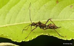 Broad-headed bug nymph, Alydidae mimicking an Ant