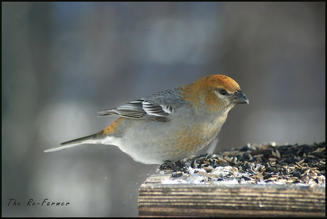 2019-02.pine.grosbeak.female.3