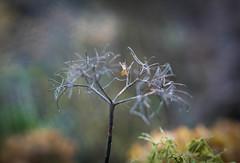 hortensia - Photo of Croix-en-Ternois