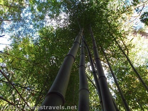 Bamboo at Willowwood