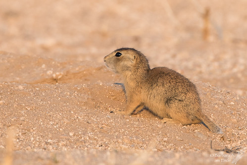 The prairie dogs have Barry White on inside their burrows. Which means in about 2 months, we'll have a bunch of new babies being born. Here's a shot from last year as I get anxious for this year's litter.