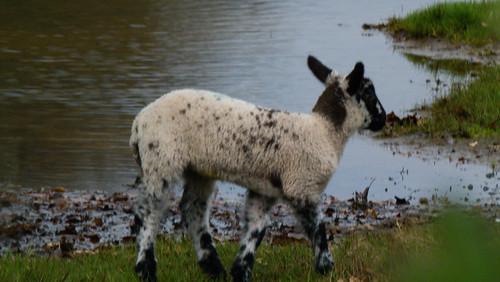 Lamb by a muddy puddle