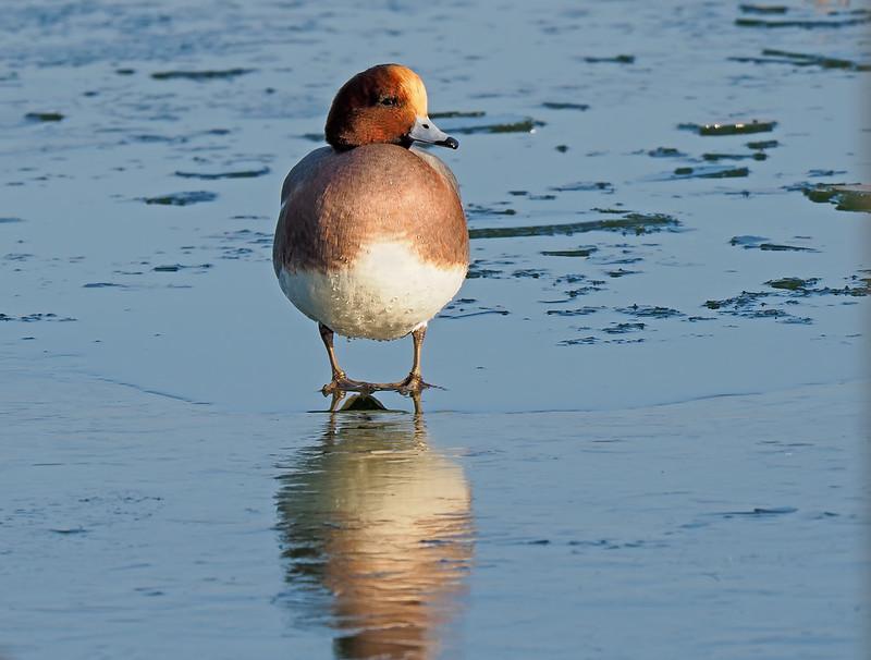 Wigeon on ice