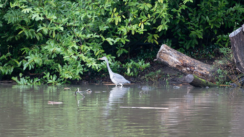 Young heron wading in Avon