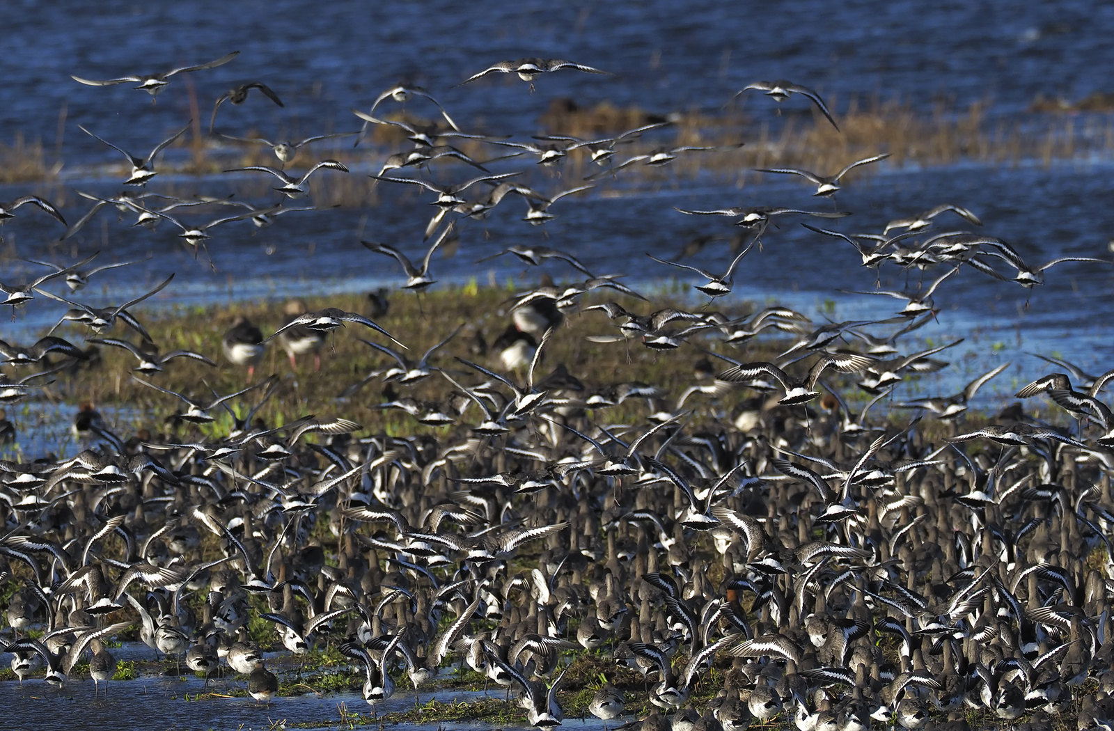 That's a lot of Black-tailed Godwits!