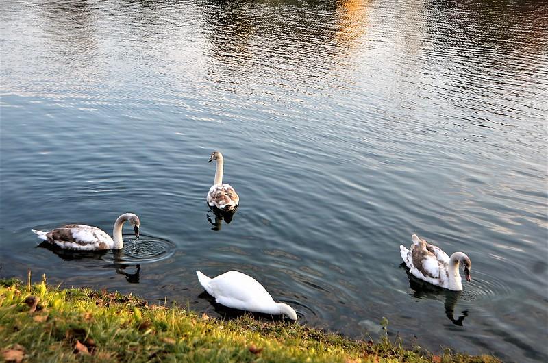 Swan 19.01 (6)