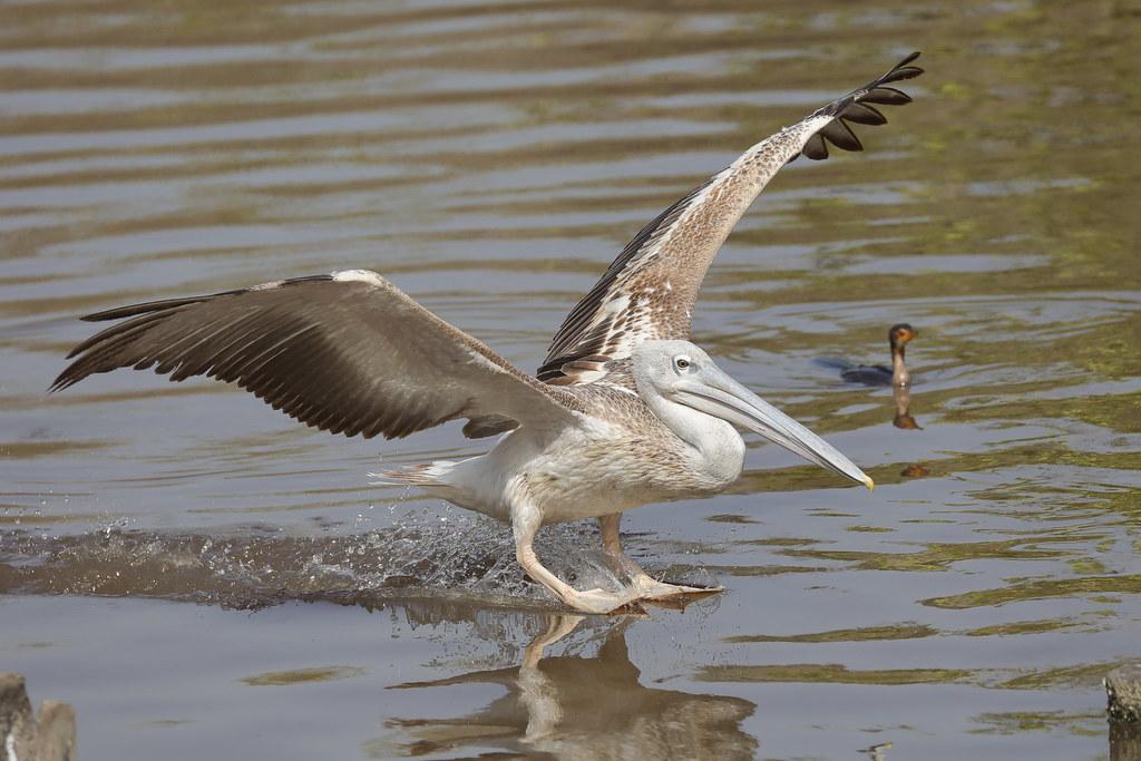 Pink-backed Pelican Pelecanus rufescens