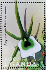 Angraecum eichcrianum