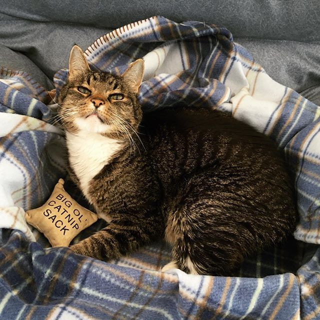 Murderface and his big 'ol catnap sack. 🍃 #catsofinstagram #sundaze