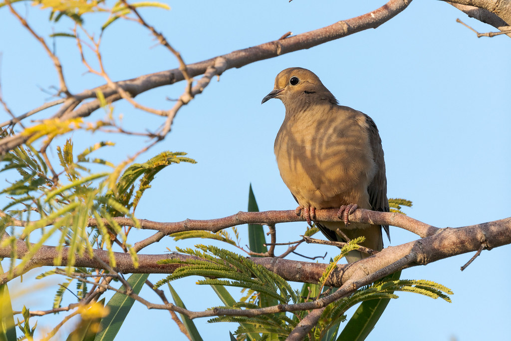 A mourning dove perches in a tree in our backyard on a sunny November afternoon