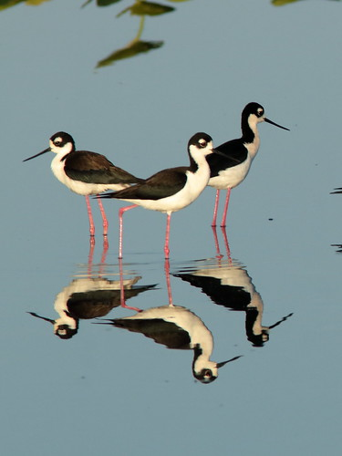 Black-necked Stilts 009-20190401