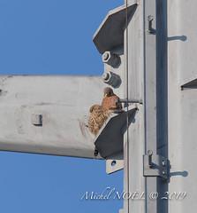 Faucon crécerelle Falco - tinnunculus - Common Kestrel : Michel NOËL © 2019-8744.jpg