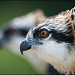 Osprey Chicks